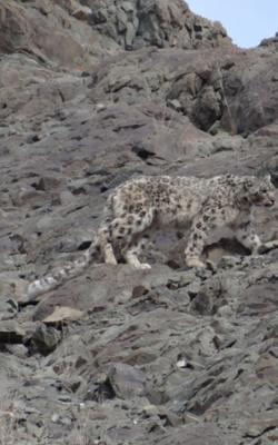 snow-leopard-spotting-tour-with-stok-festival