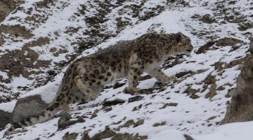snow-leopard-watching-snow leopard-photography-tour-ladakh-snow-le0pard-tour-packages