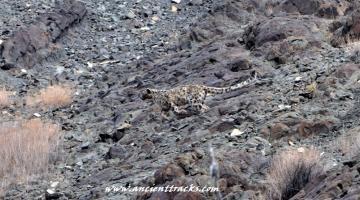 snow-leopard-with-matho-festival