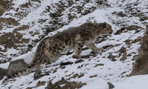 snow leopard watching, snow leopard photography tour, Ladakh Snow Lepard tour Packages