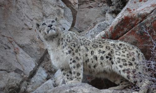 ladakh-snow-leopard-expedition-2018