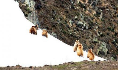 Himalayan brown bear photography tour to Ladakh