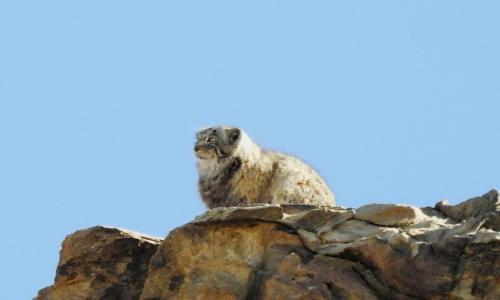Pallas's Cat in Hanle, Pallas's Cat expedition to Ladakh Hanle