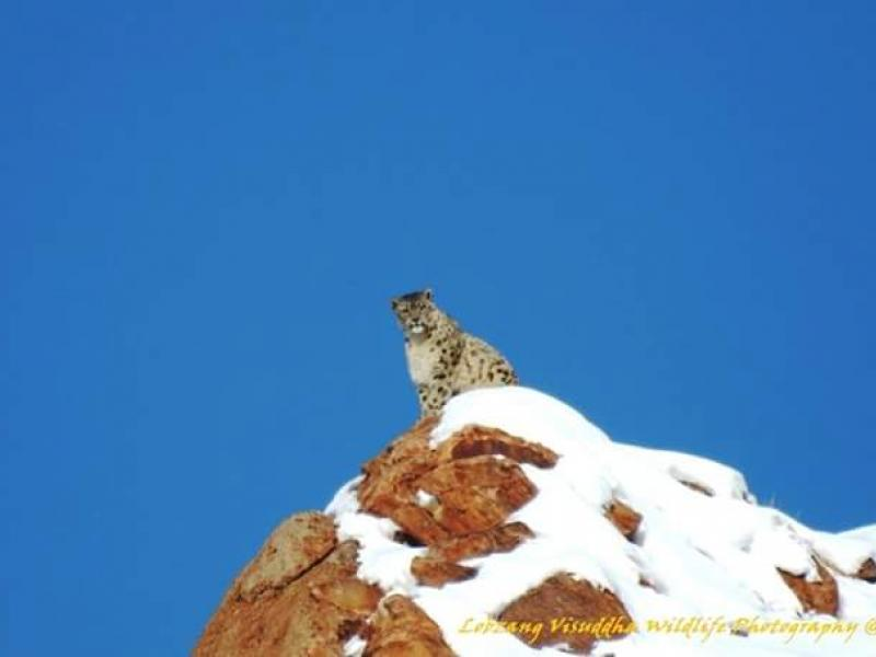 snow-leopard-with-spituk-festival