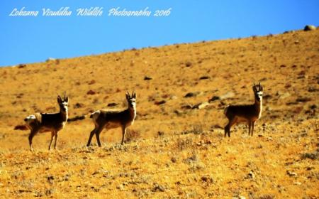 Hanle - A new Destination for Wildlife Lovers