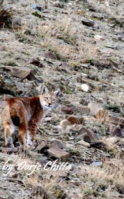 Eurasian Lynx wildlife tour to Ladakh