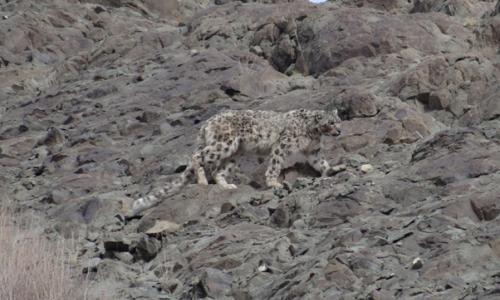 snow-leopard-spotting-tour-with-stok-festival