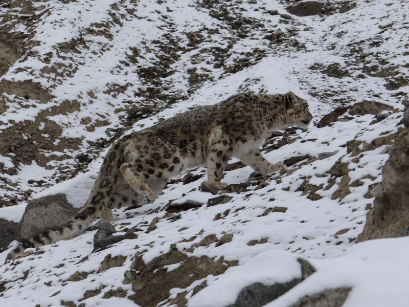 snow-leopard-watching-snow leopard-photography-tour-ladakh-snow-le0pard-tour-packages