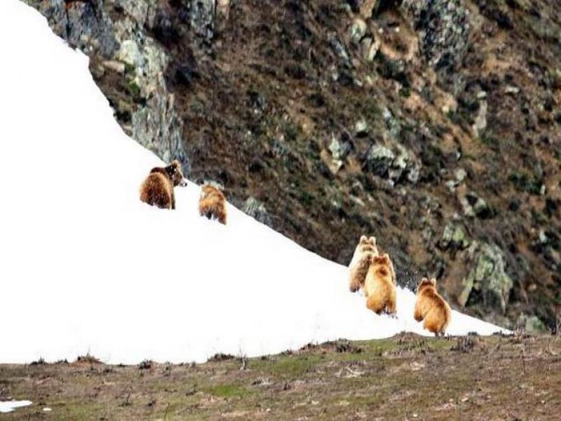Himalayan brown bear photography tour to Ladakh