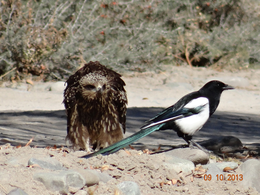 Black Kite with a Magpie by Lobzang Visuddha