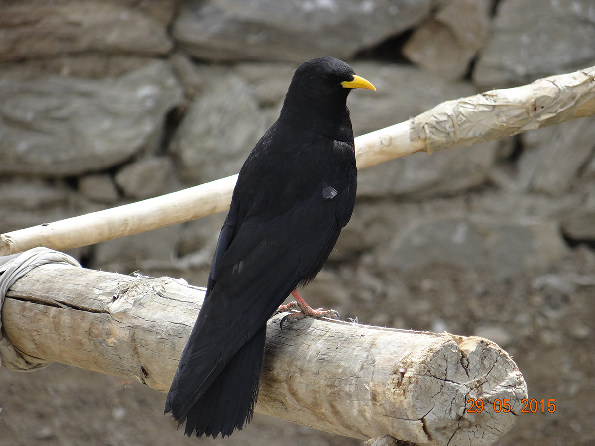 Yellow-billed Chough, one of the high altitude endemic birds of Ladakh Himalaya