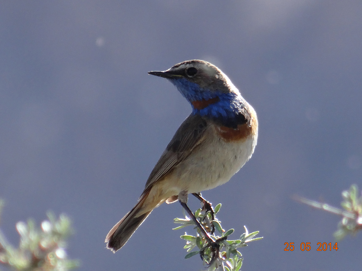Blue-Throat is one of the birds of Ladakh found mainly along the Indus Belt, Shey-Thiksay-Marshes in Leh Ladakh., Leh, Ladakh, India.