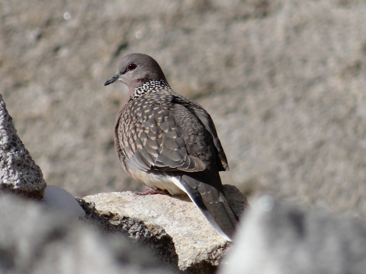 Spotted Dove, a record sighting in Ladakh by Lobzang Visuddha, Founder, Wildife Conservation and Birds Club of Ladakh (WCBCL). Birding in Ladakh with Ancient Tracks is unique birding trips to Ladakh region of high altitude birds of Ladakh.