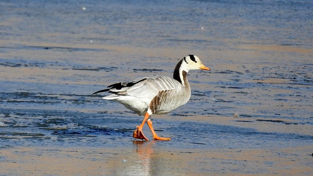 Bar-headed Geese is summer visitor bird. Barheaded Goose breed in high altitude lakes like Tsomorir, Hanle, Tsokar, Chushul, Puga sumdo Mahey, Nyoma, Loma and other high altitude marshes in Ladakh himalaya.