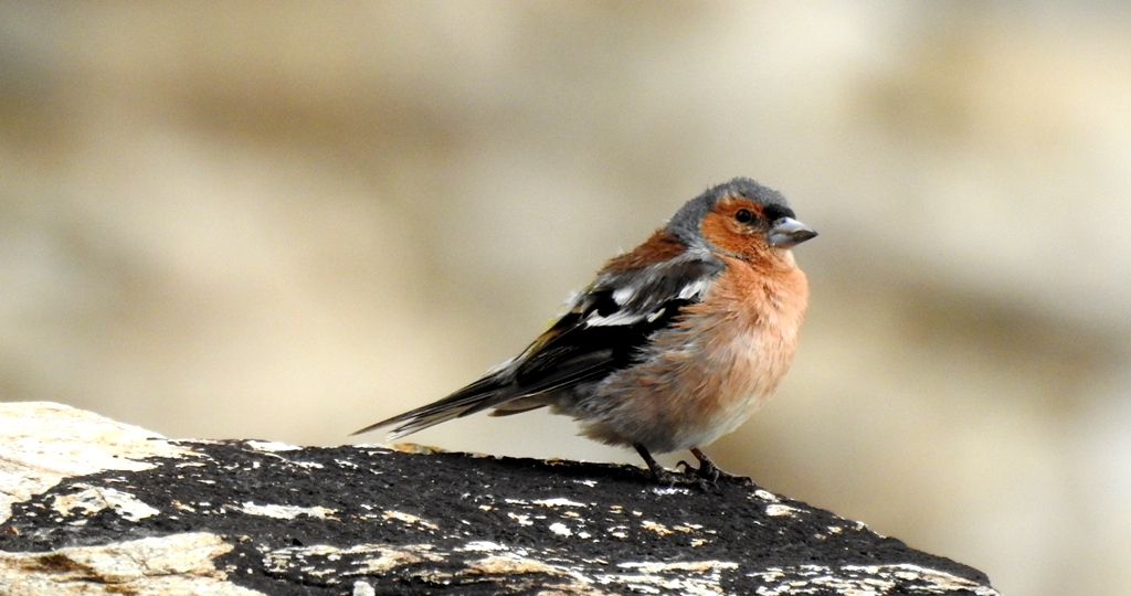 Chaff-finch is one of the rare birds found in Ladakh during a birding trip. This Chaff-finch prographed at Thukje Gonpa near Tsokar Lake in Ladakh is a record sighting.