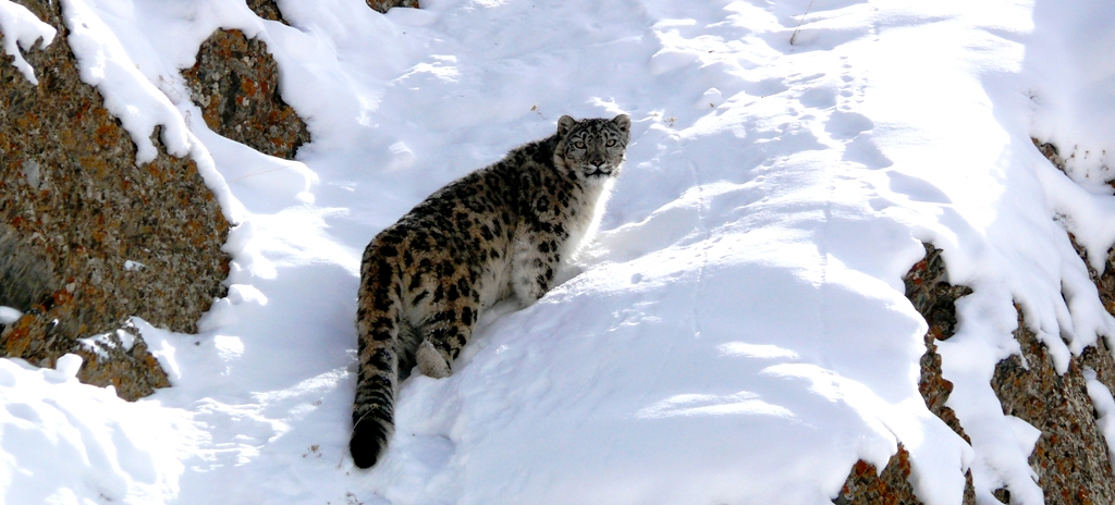 Snow Leopard Tours to Ladakh Hemis National Park (HNP) and Snow Leopard Expedition to Ulley and Rumbak.
