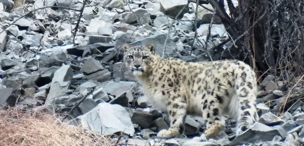 Snow Leopard Tours to Ladakh with Ancient Tracks is a great success. Husing, Rumbak sumdo, Yurutsey, Tarbung, Jingchen are snow leopard hotspots in Hemis National Park in Ladakh for snow leopard tours to Ladakh.