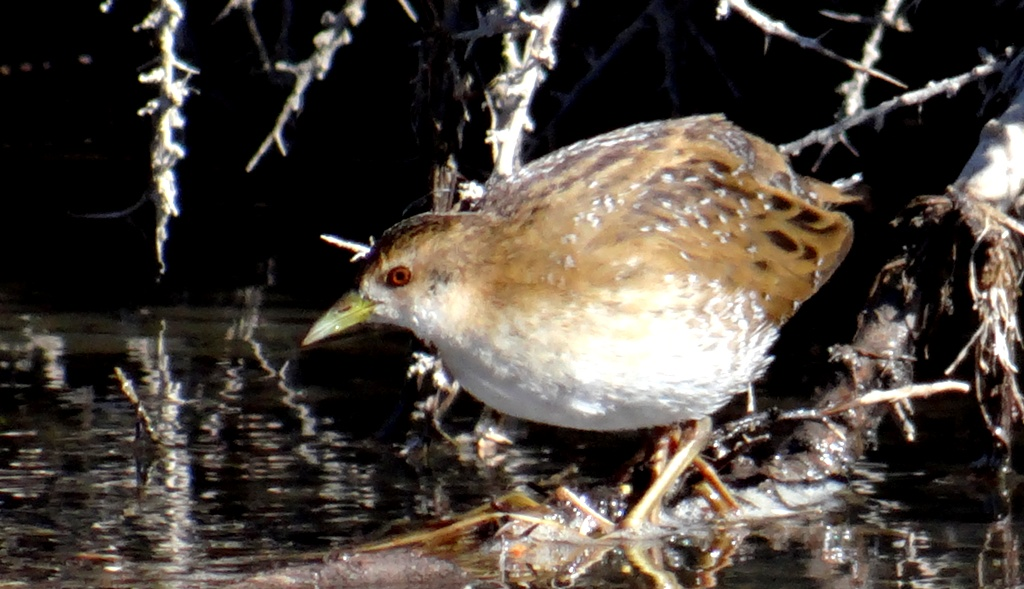 Ballion's Crake is one of the rare birds of Ladakh. Indus River Marshes and some wetlands are birding hotspots in Ladakh