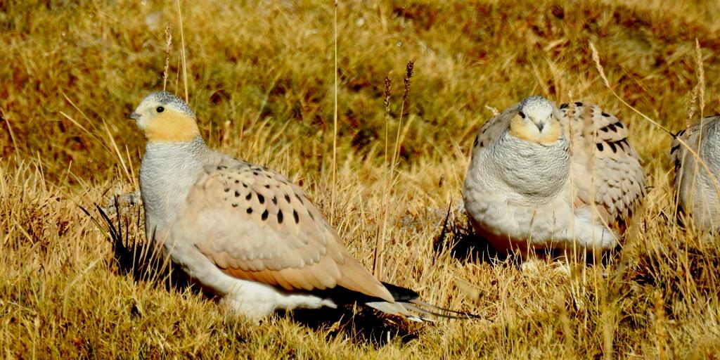 Birding around Tsokar Lake is one of the best birding trips in Ladakh. This is one of the best birding hotspots for Tibetan-Sandgrouse and Little Owl in Ladakh.