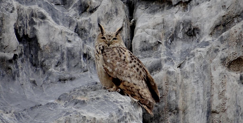 Eurasian Eagle Owl is one of the elusive birds of Ladakh. While on a birding trip to Markha Valley this Eurasian Eagle Owl was shot.