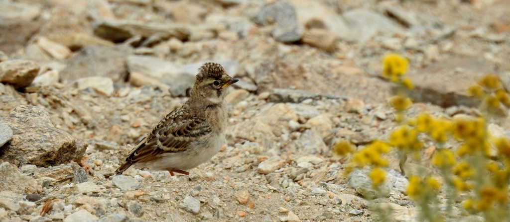 Oriental Skylark can be photographed at Tsokar, Hanle, Tsomorir, Puga, Changla, Taklangla, Polokongka la, etc. Birding in Ladakh with ancient tracks.