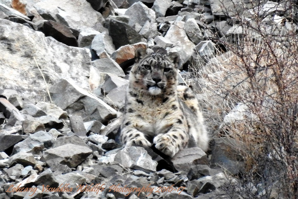 Snow Leopard Tour to Ladakh with Spituk Festival