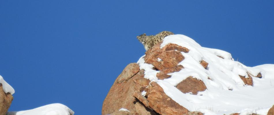 Snow Leopard watching Tours to Ladakh, Snow Lepord in Ladakh