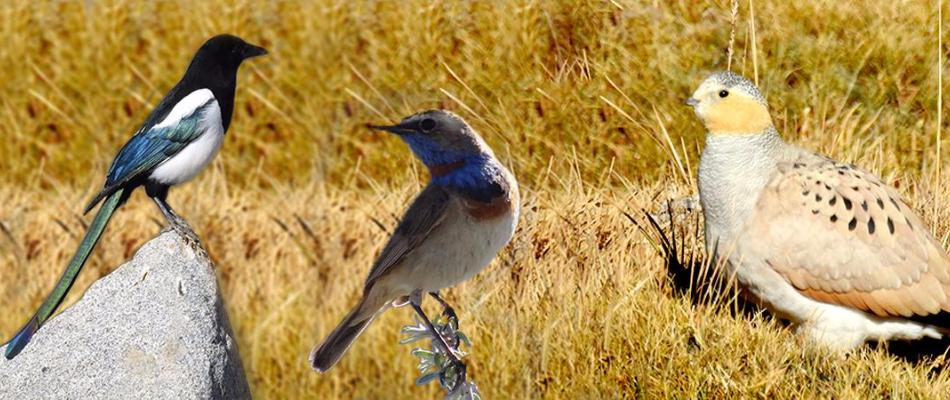 Birds of Ladakh, Birding Tours in Ladakh, Birding in Ladakh