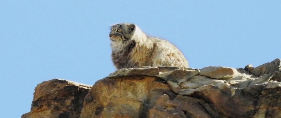 Pallas's Cat in Hanle, Ladakh Wildlife Tour