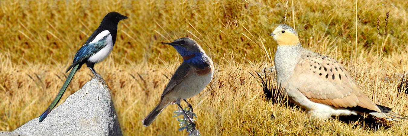 Birding in Ladakh with Ancient Tracks
