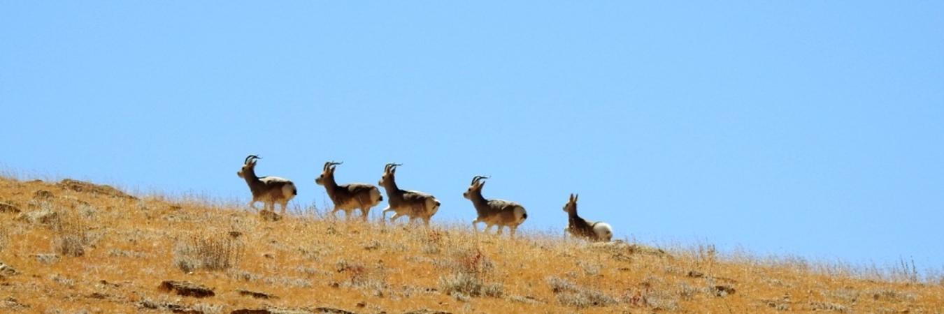 Wildlife Tours to Ladakh with Ancient Tracks